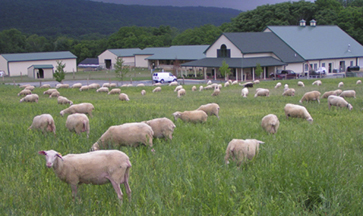 sheep-farm.jpg