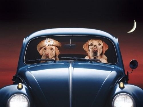 a.baa-Two-dogs-in-blue-car