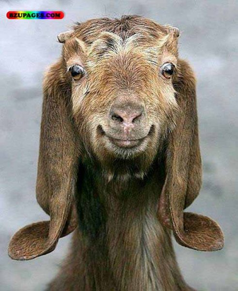 Funny goat face1