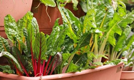 vertical veg chard