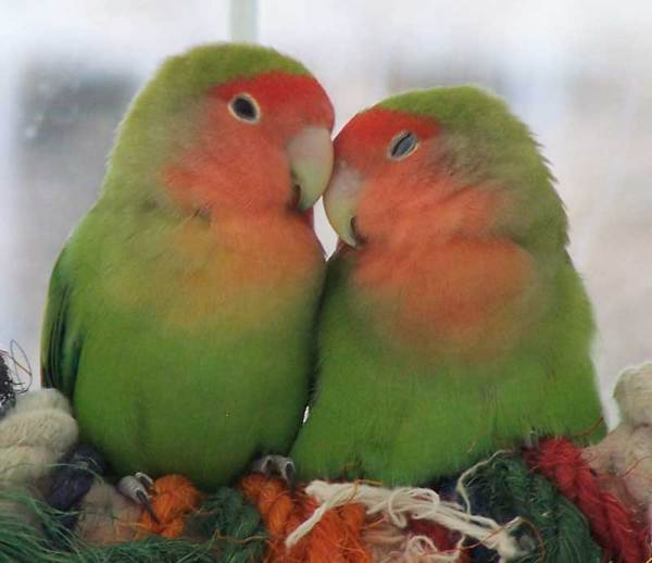peach-faced-lovebirds-sleeping-7048