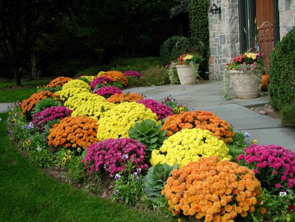 Chrysanthemums-line-a-fall-garden-path