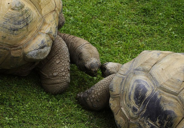 tortoise-couple-kiss