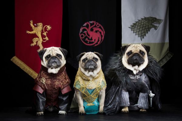 pugs-dressed-as-game-of-thrones-Bono-as-Jon-Snow-Roxy-as-Daenerys-Targaryen-and-Blue-as-Tyrion-Lannister