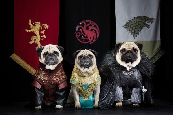 pugs-dressed-as-game-of-thrones-Bono-as-Jon-Snow-Roxy-as-Daenerys-Targaryen-and-Blue-as-Tyrion-Lannister