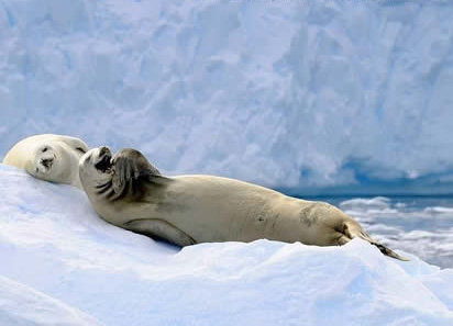 laughing-seal