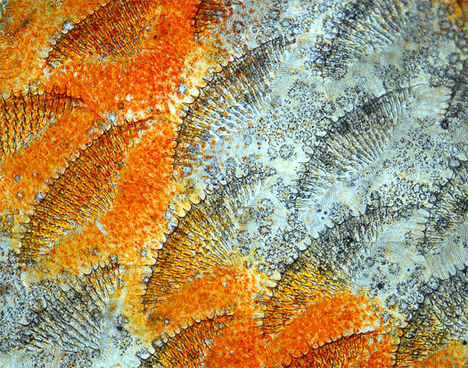 discus-fish-scales