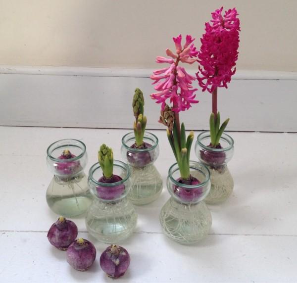 forcing_hyacinths3-1024x977