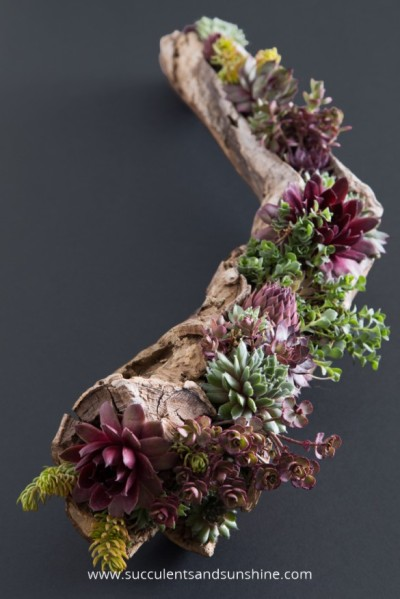 Find-out-how-to-fill-a-driftwood-planter-with-cold-hardy-succulents-585x877