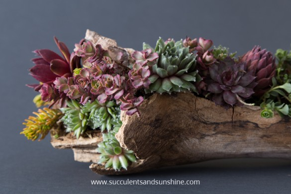 Learn-how-to-make-a-driftwood-planter-filled-with-succulents-585x390